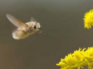 mosca-abelha